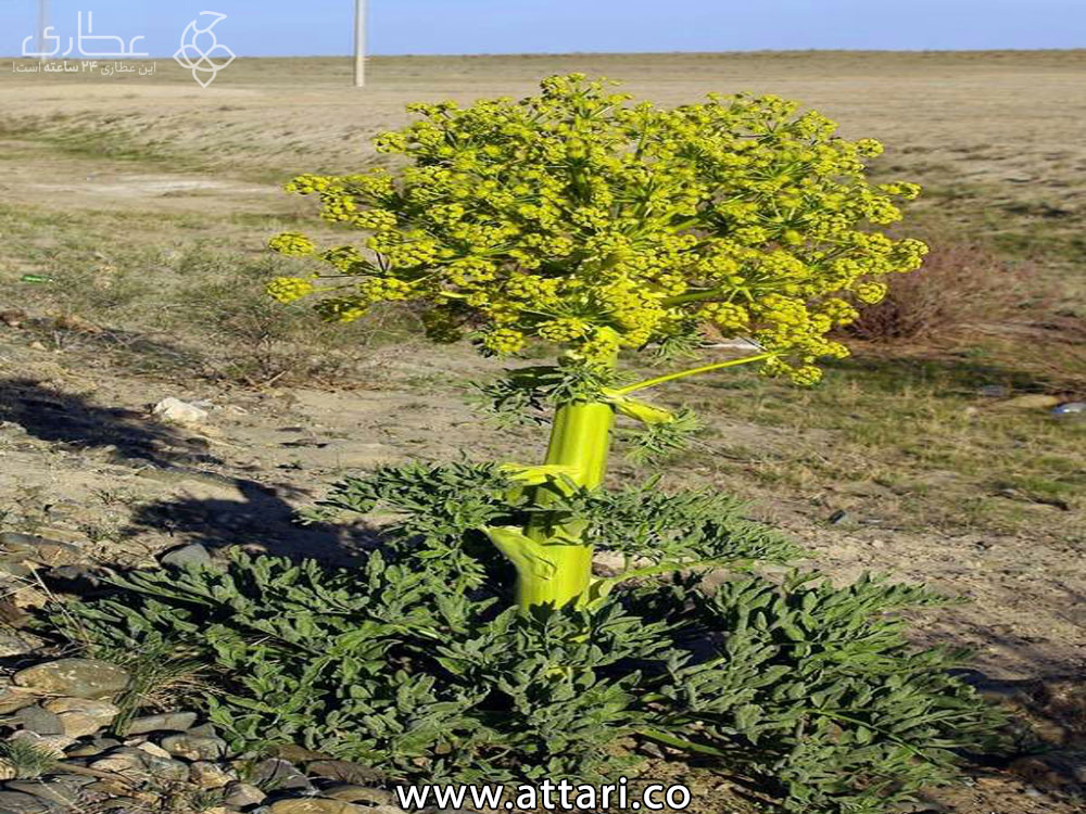 گیاه آنغوزه