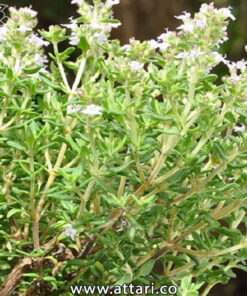 گیاه آویشن