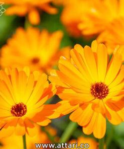 گیاه همیشه بهار