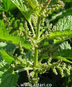 گیاه دارویی گزنه
