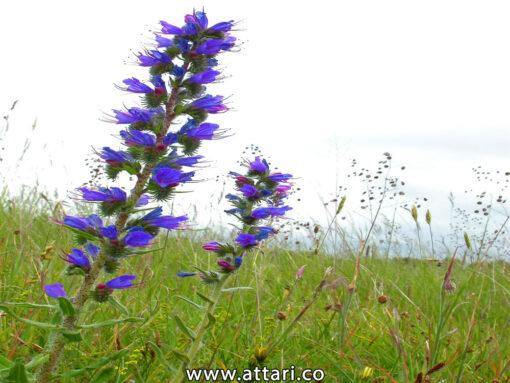 گیاه گل گاو زبان