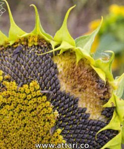 بذر آفتابگردان خوراکی