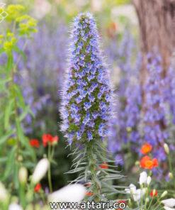 بذر گل گاو زبان ایرانی