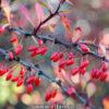 زرشک قرمز پلویی