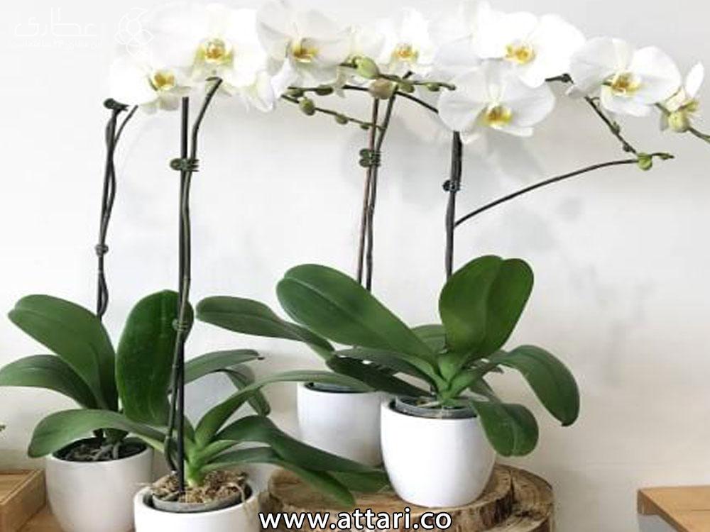 پرورش گیاه گل ارکیده